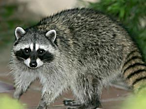RACOON 1-8313 - Advice Sisters Raccoon With No Hair