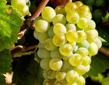 spanish grapes