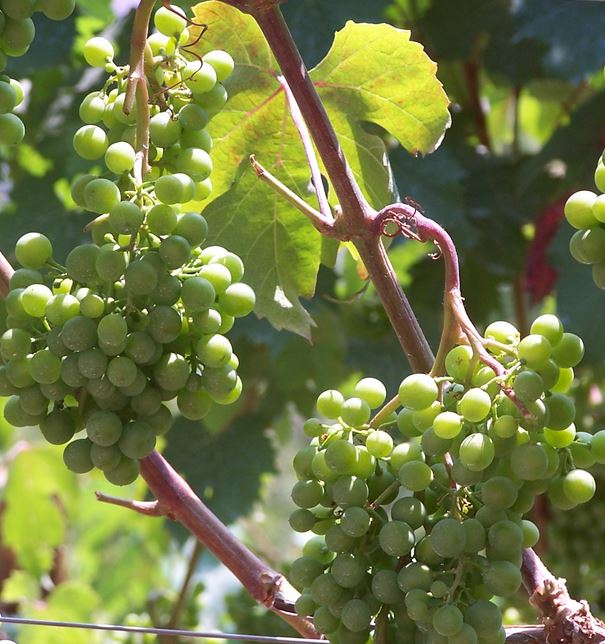sweet wine grapes